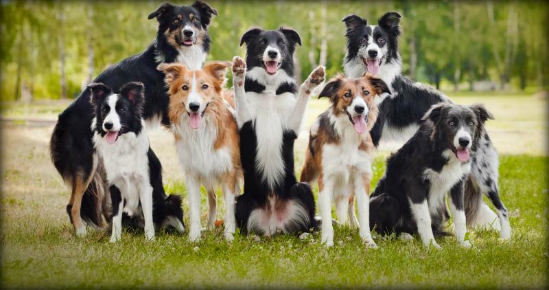 Самые умные породы собак в мире