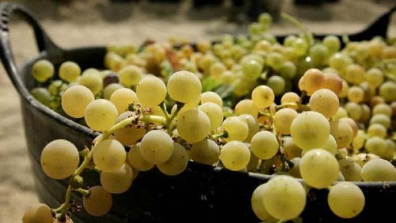 poedanie-vinograda