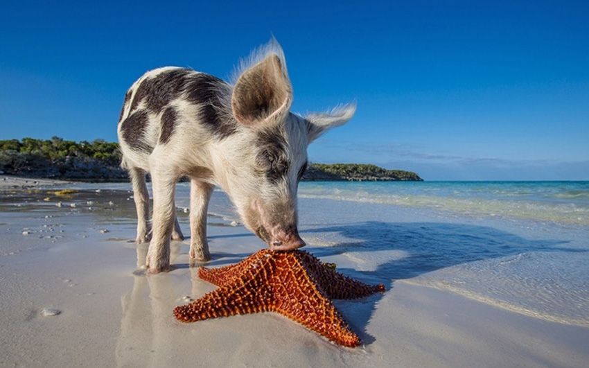 Пиг-Айленд: поросячий остров на Багамах
